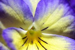 Pansy violet. Closeup of a purple pansy royalty free stock photos