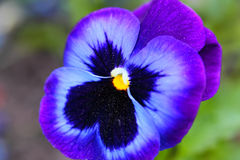 Pansy Violet Flower Stock Image