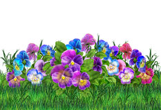 Pansy violet flower and green grass. Beautiful Pansy Violet flowers with fresh green grass on white background. Holiday Illustrations Viola tricolor flower. For stock illustration