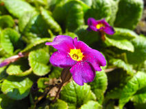 Pansy violet flowers, green plant. Pansy violet purple flowers, green plant close-up, macro, garden, green stock images