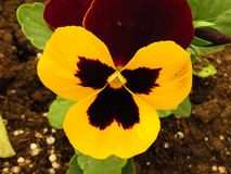 Pansy violet in the garden. Beautiful yellow, red and brown violet close up view. stock photos