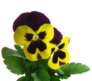 Pansy violet springtime Viola x wittrockiana Royalty Free Stock Images