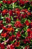 Pansy w ogródzie zdjęcia stock