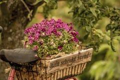 Pansy w wina pudełku na bagażu stojaku bicykl Obrazy Stock