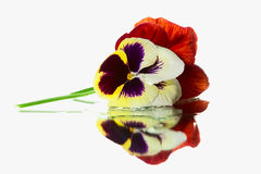 Pansy on white background Stock Images