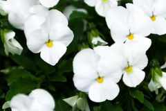 Pansy white Royalty Free Stock Image