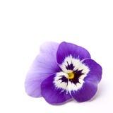 Pansy (wittrockiana della viola x) Immagine Stock