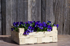 Pansy in a wooden box Royalty Free Stock Images