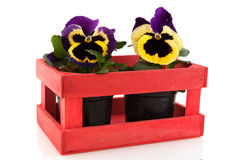 Pansy in wooden crate Stock Photo