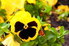 Pansy Yellow Flowers on Flower Bed Stock Photos
