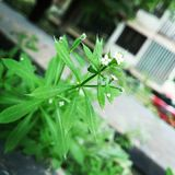 Tiny green plant with white flowers. Focus on green hairy leaves Royalty Free Stock Images