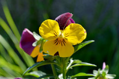 Pansy with yellow and violet Royalty Free Stock Photos
