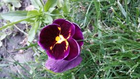Pansy with yellow and violet. Yellow, violet pansy in a green garden. Picture taken with LG G2 smartphone, original stock photography