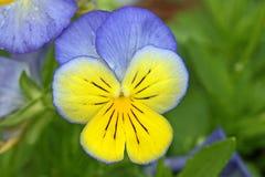 Pansyblomma i blått och guling fotografering för bildbyråer