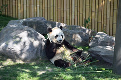 Panda. Is eating bamboo stems while sitting in an upright position Royalty Free Stock Image
