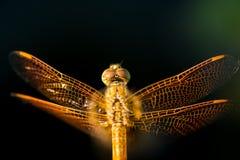 Pantala flavescens蜻蜓顶视图 库存图片