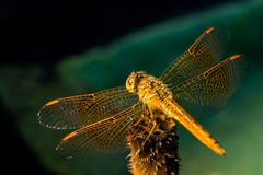 Pantala flavescens dragonfly back view. And detail of wings on lotus root royalty free stock photo