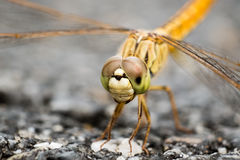 Pantala flavescens dragonfly. Pantala flavescens dragonfly close up, detail of eyes Stock Photography