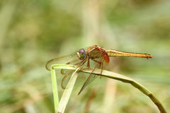 Pantala flavescens dragonfly. On the grass Stock Photo