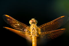 Pantala flavescens dragonfly top view Stock Images