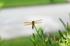 Brown dragonfly with blue eyes Stock Image