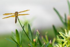 Brown dragonfly with blue eyes Stock Photos