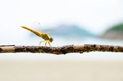 Pantala Flavescens, Yellow dragonfly Royalty Free Stock Photos