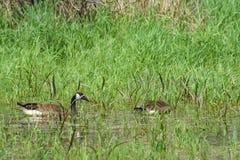 Pantanal com gansos de Canadá imagens de stock
