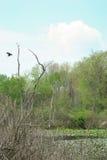 Pantanal com gansos de Canadá Imagem de Stock Royalty Free