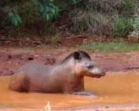 Pantanal Tapir Στοκ Φωτογραφία