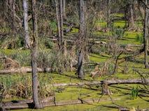 Pantano boscoso Imagen de archivo libre de regalías