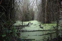 Pantano con las algas verdes y el bambú Imagen de archivo