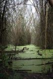 Pantano con las algas verdes y el bambú Fotos de archivo