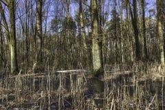 Pantano congelado en el parque nacional de Kampinos Fotografía de archivo