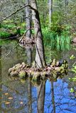 Pantano Cypress Distichum del Taxodium fotografía de archivo libre de regalías
