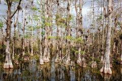 Pantano de los árboles de Cypress calvo en Cypress grande foto de archivo libre de regalías