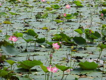 Pantano de Lotus Foto de archivo