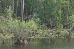 Pantano de Okefenokee Foto de archivo libre de regalías