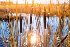 Pantano del Cattail en el borde en la luz del sol fotografía de archivo libre de regalías