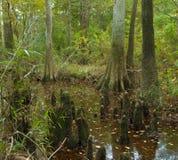 Pantano del ciprés calvo en el coto grande del matorral, Tejas Foto de archivo