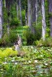 Pantano del lirio de agua Imagen de archivo