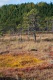 Pantano del rojo anaranjado y árbol de pino Foto de archivo