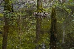 Pantano en el bosque imágenes de archivo libres de regalías