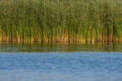 Pantanos demasiado grandes para su edad con las cañas Imagenes de archivo