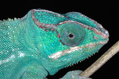 Panter Chameleon Portrait Stock Images
