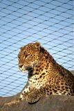 Panter in de dierentuin Royalty-vrije Stock Afbeeldingen