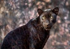 Panter eller leopard Arkivfoton