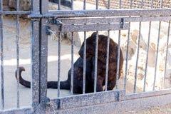 Panter in gevangenschap in een dierentuin achter de tralies Macht en agressie in de kooi stock foto's