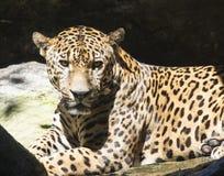 Pantera del leopardo Foto de archivo libre de regalías