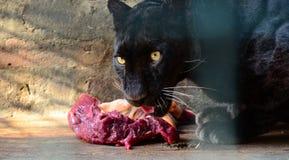 Pantera je świeżego mięso w zoo klatce zdjęcie royalty free